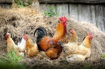 How to deal with chicken manure in chicken farm